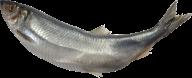 Fish Free PNG Image Download 14