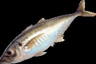 Fish Free PNG Image Download 16