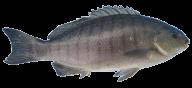 Fish Free PNG Image Download 17