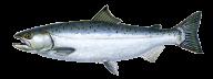 Fish Free PNG Image Download 2