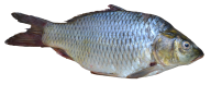 Fish Free PNG Image Download 24