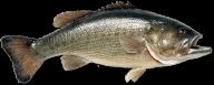 Fish Free PNG Image Download 3