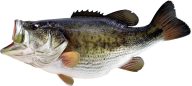 Fish Free PNG Image Download 8