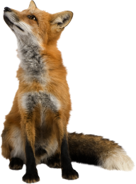 fox png free download