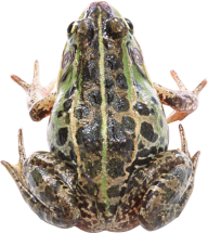 frog free download png