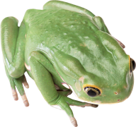 frog hd png free download
