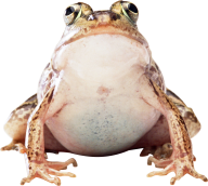 frog png free download
