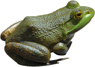 frog png free