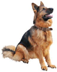 German Shephard Png