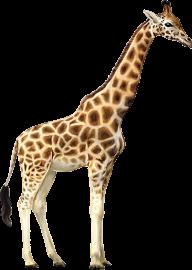 Giraffe Free PNG Image Download 1
