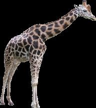 Giraffe Free PNG Image Download 10