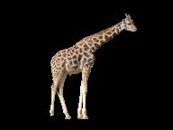 Giraffe Free PNG Image Download 11