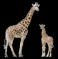 Giraffe Free PNG Image Download 12