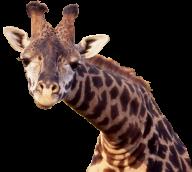 Giraffe Free PNG Image Download 13