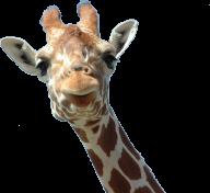 Giraffe Free PNG Image Download 14