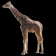 Giraffe Free PNG Image Download 16