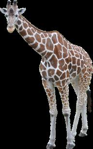 Giraffe Free PNG Image Download 17