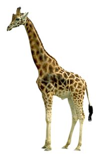 Giraffe Free PNG Image Download 2