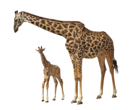 Giraffe Free PNG Image Download 21