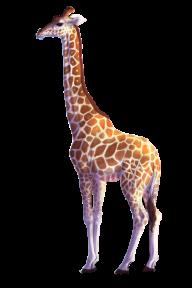 Giraffe Free PNG Image Download 22