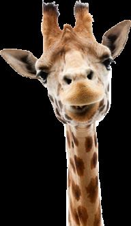 Giraffe Free PNG Image Download 23