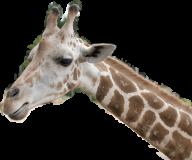 Giraffe Free PNG Image Download 24