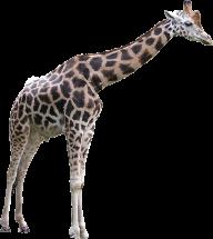 Giraffe Free PNG Image Download 3