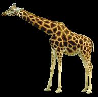 Giraffe Free PNG Image Download 5