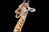 Giraffe Free PNG Image Download 6