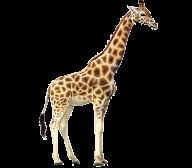 Giraffe Free PNG Image Download 7