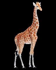 Giraffe Free PNG Image Download 8