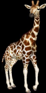 Giraffe Free PNG Image Download 9