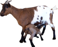 Goat Free PNG Image Download 1