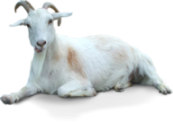 Goat Free PNG Image Download 11