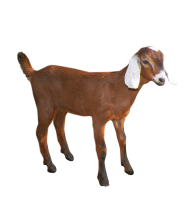 Goat Free PNG Image Download 12