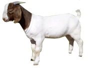Goat Free PNG Image Download 13