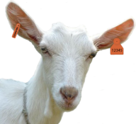 Goat Free PNG Image Download 14