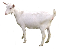 Goat Free PNG Image Download 15