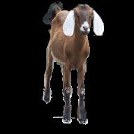 Goat Free PNG Image Download 16