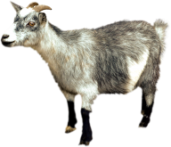 Goat Free PNG Image Download 3