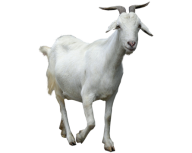 Goat Free PNG Image Download 8