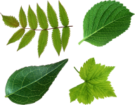 Green Leaves Free PNG Image Download 10