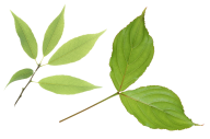 Green Leaves Free PNG Image Download 15