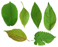 Green Leaves Free PNG Image Download 20