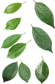 Green Leaves Free PNG Image Download 23