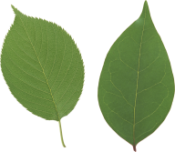 Green Leaves Free PNG Image Download 24