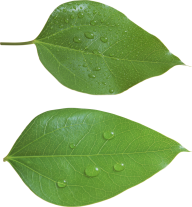 Green Leaves Free PNG Image Download 28