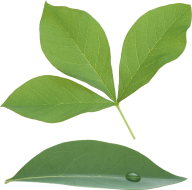 Green Leaves Free PNG Image Download 3