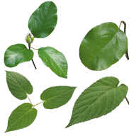 Green Leaves Free PNG Image Download 4