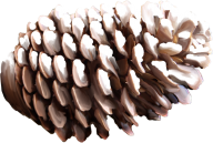 HD Pine Cone Png